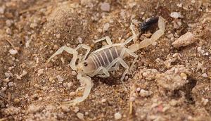 WHScorpion
