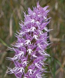 LavenderT