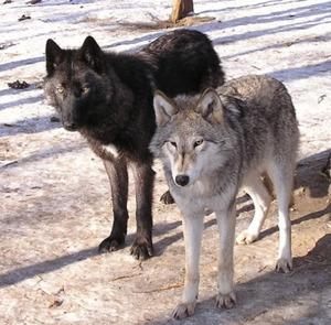 Thewolf2