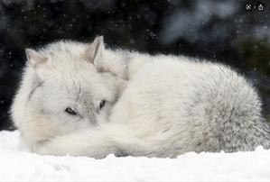 Starwolf1