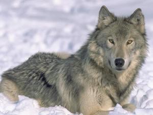wolfheart345
