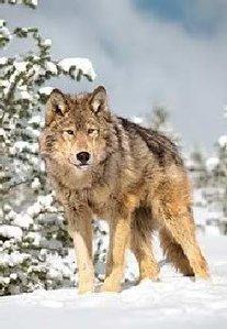 Goldwolf