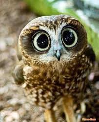 OwlParliment
