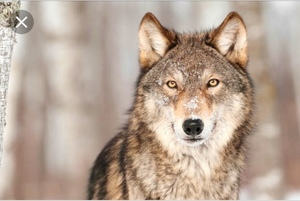 WolfFlame