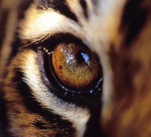 Tigerseye909