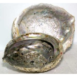 "5""-6"" Abalone Shell Incense Burner"